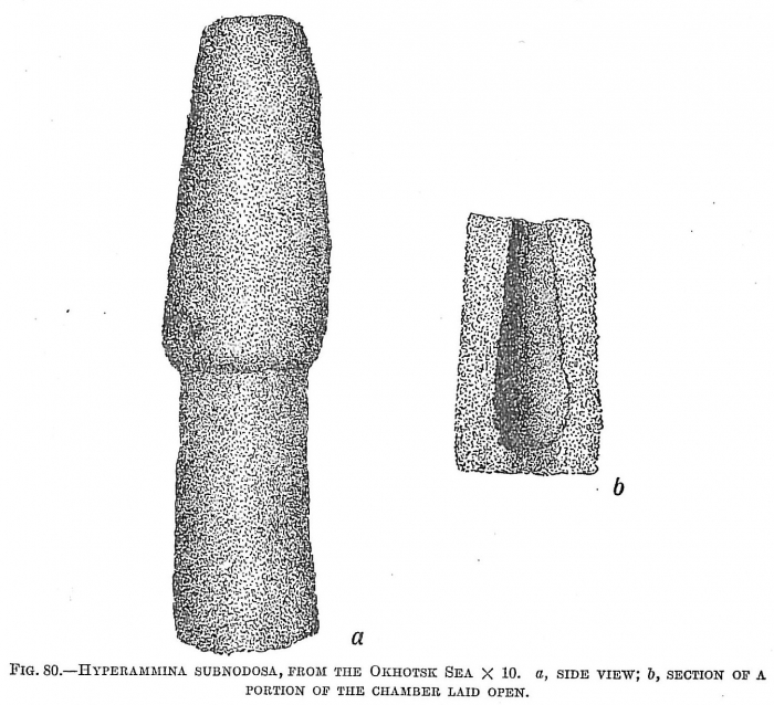 Hyperammina subnodosa