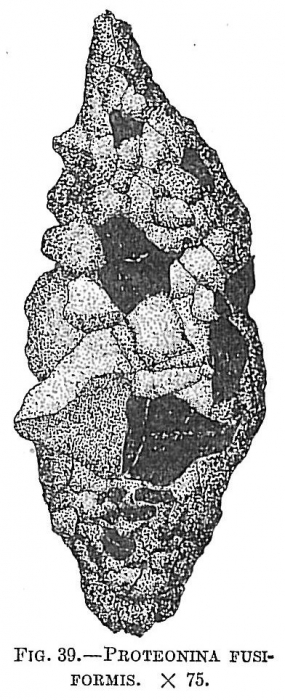Proteonina fusiformis