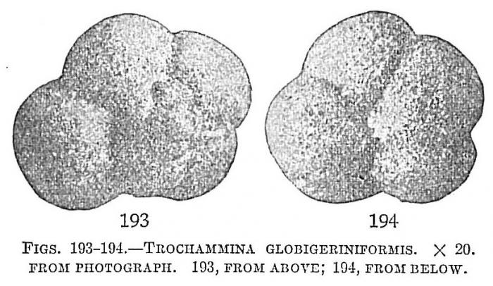 Trochammina globigeriniformis