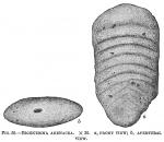 Bigenerina arenacea
