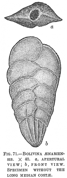 Bolivina aenariensis