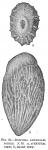 Bolivina amygdalaeformis