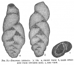 Bolivina limbata