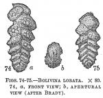 Bolivina lobata