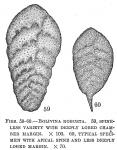 Bolivina robusta
