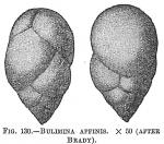 Bulimina affinis