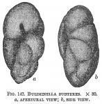 Buliminella subteres