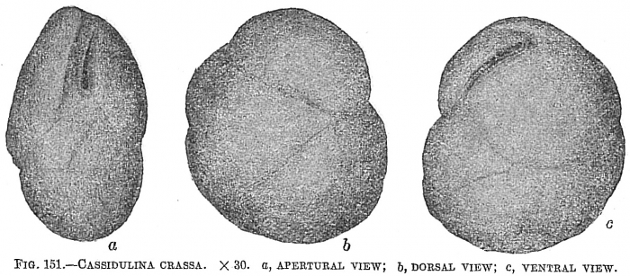 Cassidulina crassa