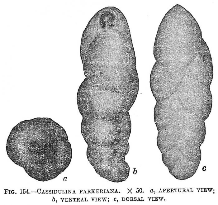 Cassidulina parkeriana