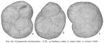 Cassidulina subglobosa