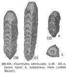 Clavulina angularis