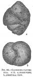 Gaudryina paupercula