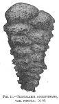 Textularia agglutinans fistula