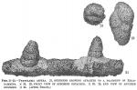 Textularia aspera