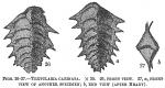 Textularia carinata