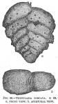 Textularia concava