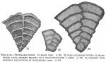 Textularia folium