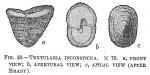 Textularia inconspiqua