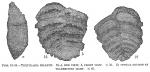 Textularia milletti, author: Cedhagen, Tomas