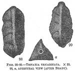 Tritaxia tricarinata