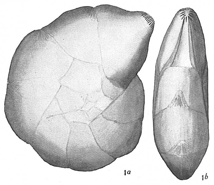 Cristellaria articulata