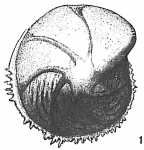 Cristellaria denticulifera