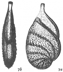 Cristellaria gemmata