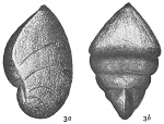 Cristellaria italica