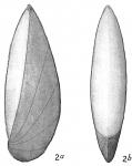 Cristellaria latifrons