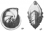 Cristellaria mamilligera