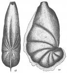 Cristellaria reniformis