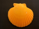 Picture of <i>Aequipecten opercularis</i> (Linnaeus, 1758)