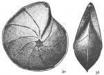 Cristellaria rotulata