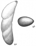 Cristellaria schloenbachi