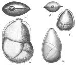 Cristellaria variabilis