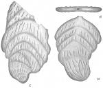 Frondicularia robusta repanda