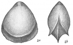 Lagena alveolata plebeia