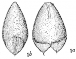 Lagena alveolata