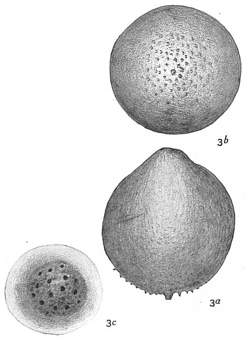 Lagena ampulla-distoma cribrostomoides
