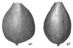 Lagena apiculata