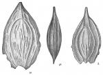 Lagena crescenticostata