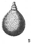 Lagena favoso-punctata