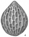 Lagena hexagona var. scalariformis