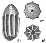 Lagena inferocostata