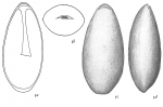 Lagena lateralis