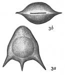 Lagena staphyllearia