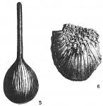 Lagena striato-areolata