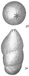 Marginulina glabra