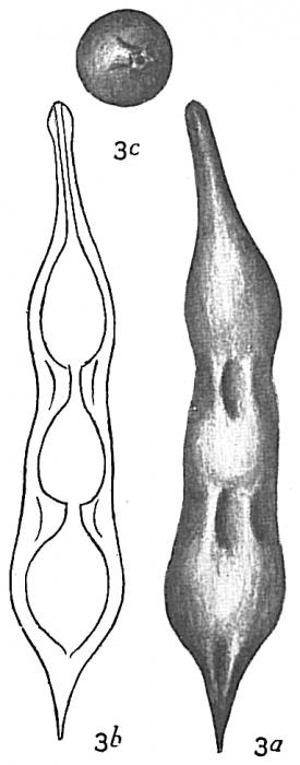 Nodosaria catenulata