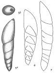 Nodosaria mucronata